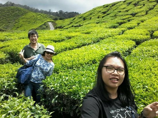Tanah Rata, Malaysia: the greenery and beautiful tea shrubs - Bharat Tea Plantation