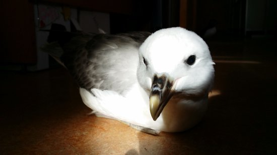 Vestmannaeyjar, Islandia: Sometime the local children or turists bring injured birds to the aquarium, like this young fulm