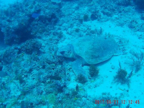 Jupiter, FL: The Loggerhead Turtle