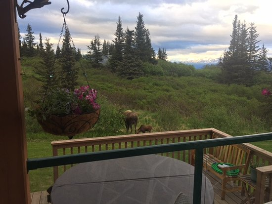 Fritz Creek, AK: Moose in the yard