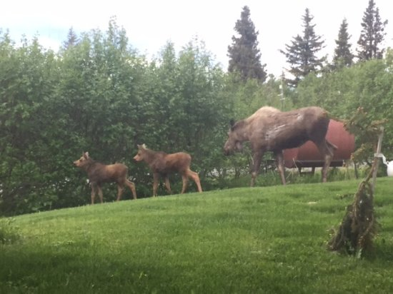 Fritz Creek, AK: Moose and twins in yard