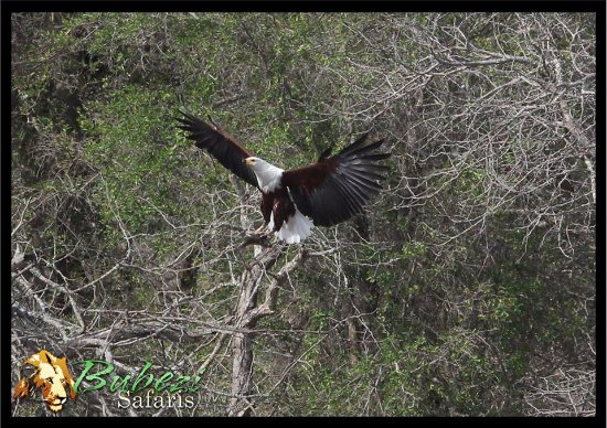 Hazyview, South Africa: Fish Eagle