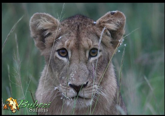 Hazyview, South Africa: Lion
