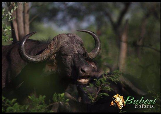 Hazyview, Sudáfrica: Buffalo