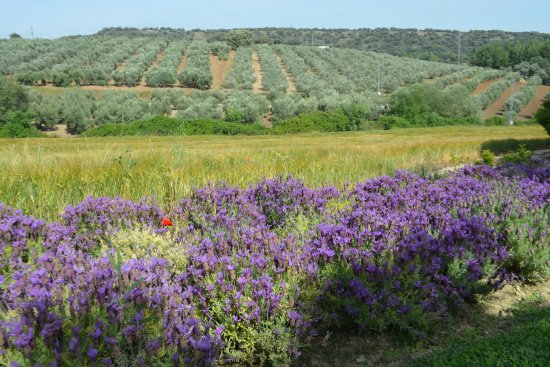 Cortijo El Guarda: View of the surrounding olive groves.