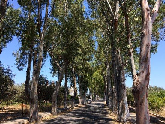 Kolimbia, Grecia: Eukalyptus Allee