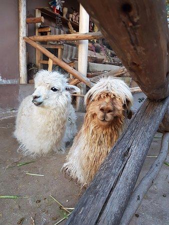 Chinchero, Perú: Alpacas