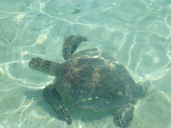 Kaneohe, Hawái: green sea turtle