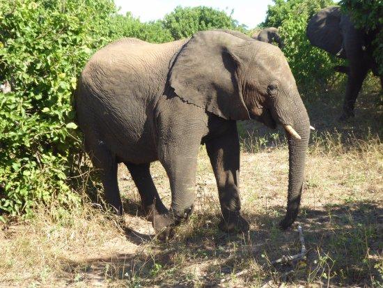 Kasane, Botswana: Olifant