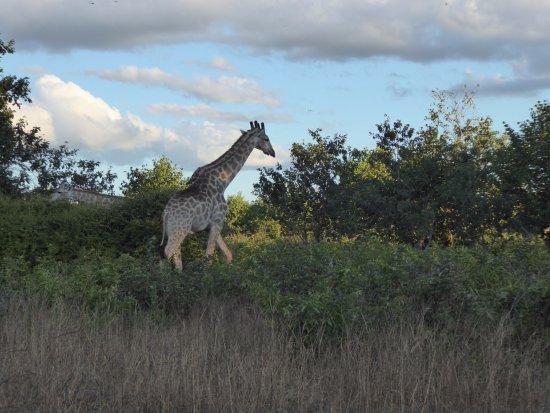 Kasane, Botswana: Giraffen