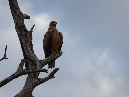 Kasane, Botswana: Tawny Eagle