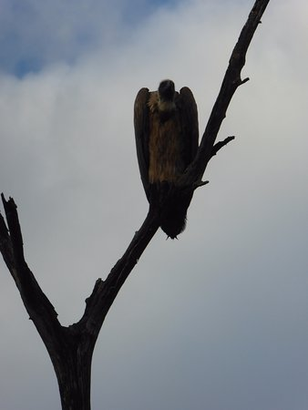 Kasane, Botsuana: White-backed Vulture
