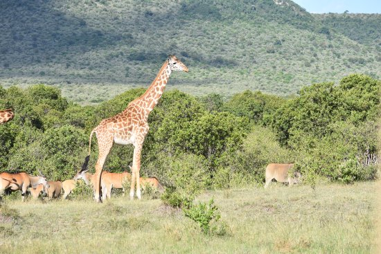 Fairmont Mara Safari Club: Giraffes on a morning drive