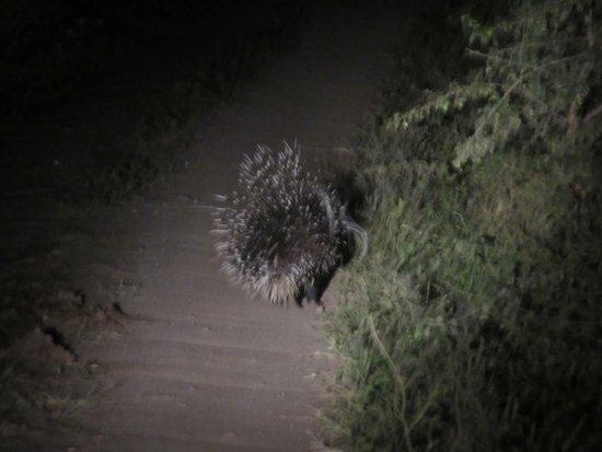 andBeyond Lake Manyara Tree Lodge: Another night drive surprise, a shy porcupine.