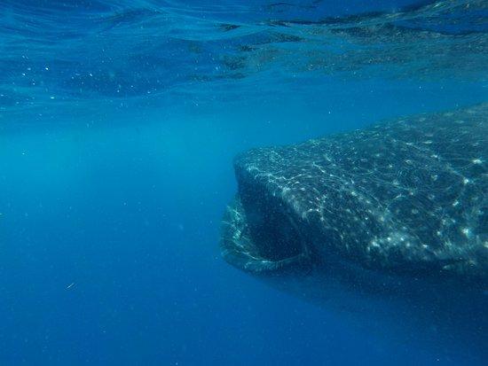 Mawimbi Whale Sharks Tour : whale shark