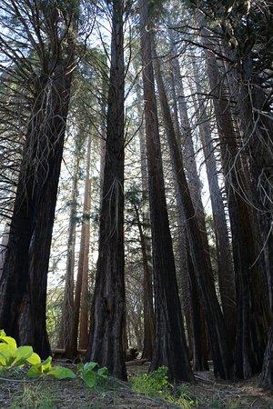 Skyforest, CA: Sequoia Trees