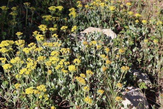 Skyforest, CA: Sulphur Buckwheat