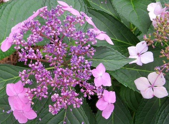 Hoover, AL: Hydrangeas are the stars of the garden.