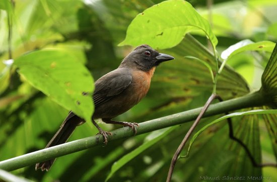 Puerto Jimenez, كوستاريكا: Black Cheeked Ant Tanager