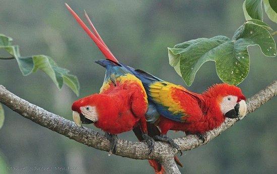 Puerto Jimenez, Costa Rica: Scarlet Macaws