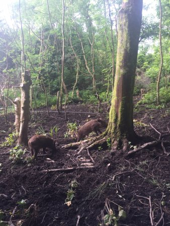 Letterfrack, Irlanda: Piggies in the forest!