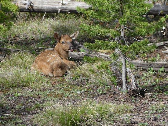 Buffalo Roam Tours - Day Tours: Baby Elk