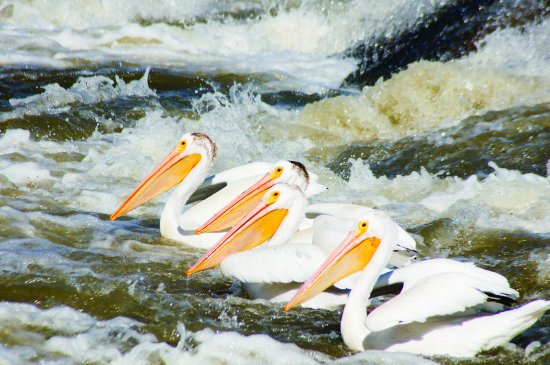 Fort Smith, Canada: American White Pelicans on the Slave River, NWT, Canada
