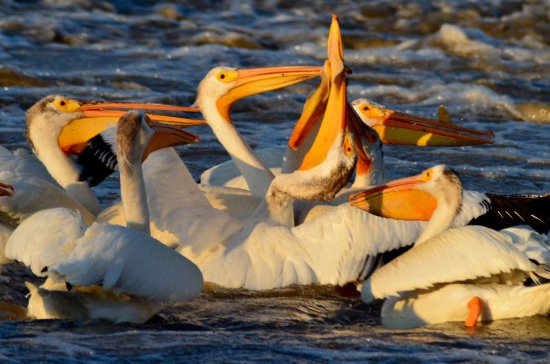 Fort Smith, Canada: Pelicans fighting for the fish on the Slave River, NWT  - Rapids of the Drowned