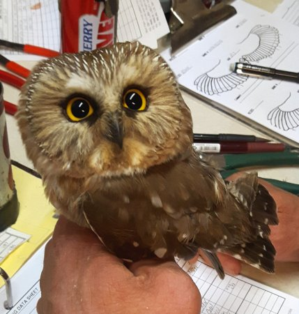 northern saw whet owl during night time banding visit picture of