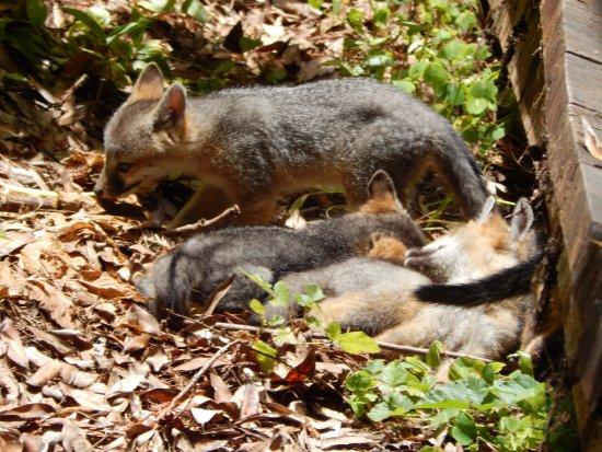 Mill Valley, CA: fox litter2