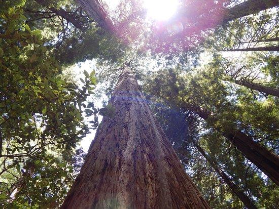 Mill Valley, CA: trees4