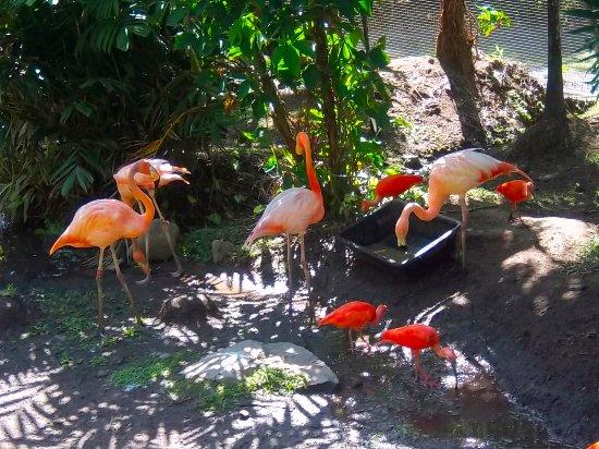 Le Carbet, Мартиника: Les flamands roses