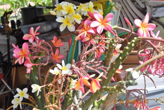 Vancouver, WA: I will be selling Plumeria plants fragrant