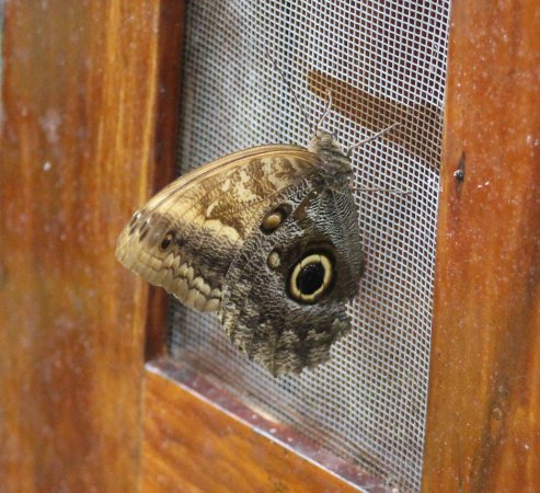 Parque Selvatura: Great Owl Butterfly
