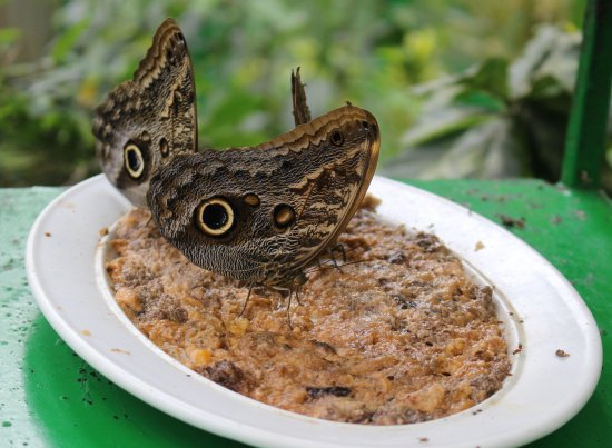 Parque Selvatura: Great Owl Butterflies Getting Nourishment