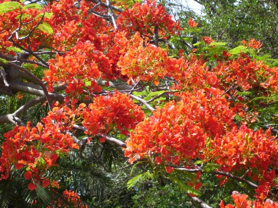 Caneel Bay, St. John: Spring through summer the flamboyant trees are in bloom.