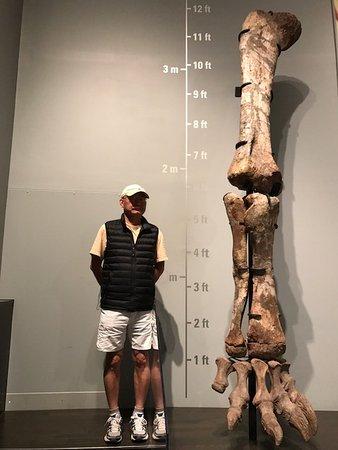 Royal Tyrrell Museum: Leg structure of a T-Rex
