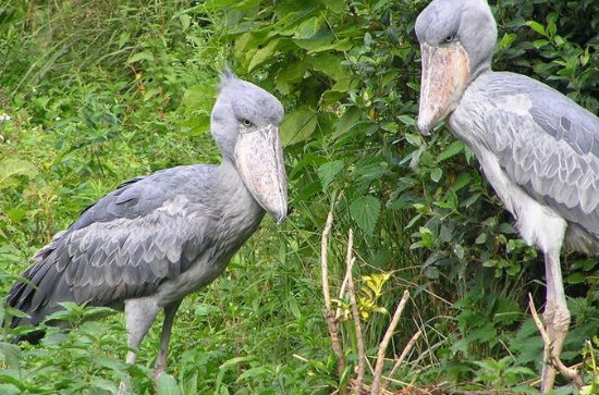 1 Day Mabamba swamp bird watching trip