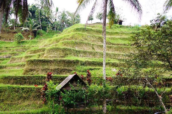 Tegalalang Rice Terrace : photo0.jpg