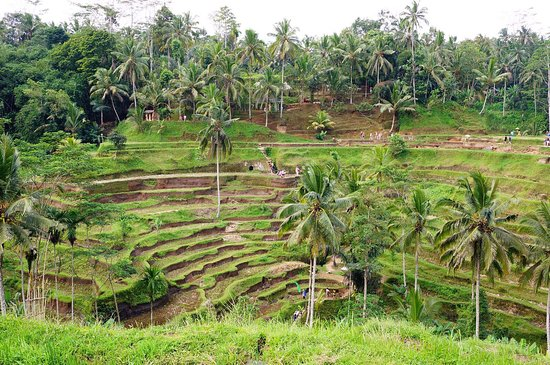 Tegalalang Rice Terrace : photo1.jpg