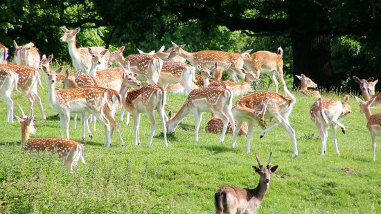 Fountains Abbey and Studley Royal Water Garden: Deer park