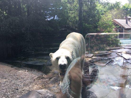 les loups blancs arctiques magnifiques photo de zoo de la fl che la fl che tripadvisor. Black Bedroom Furniture Sets. Home Design Ideas