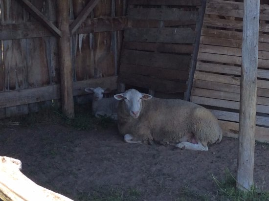 Mildmay, Canada: Who would have ever thought sheep could be available for hire? At Hoity Toity Cellars, our Canad