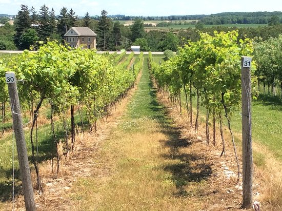Just a short drive away in Mildmay, we make wine from Bruce County cold climate grapes, and our