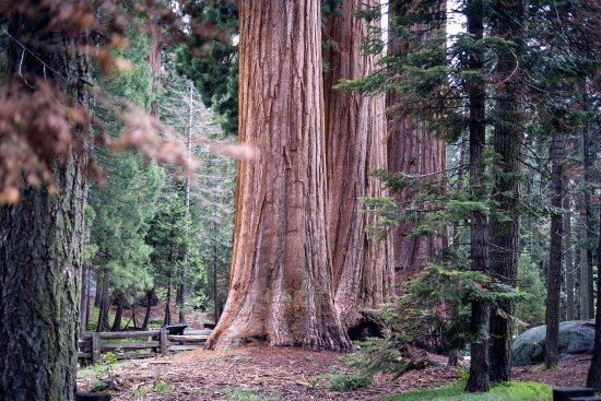 Three Rivers, CA: Sequoia trees (taken with Relonch camera)
