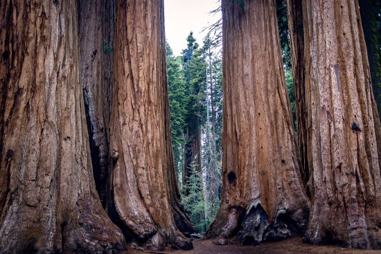 Three Rivers, Califórnia: Sequoia trees (taken with Relonch camera)