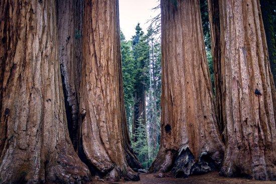 Три-Риверс, Калифорния: Sequoia trees (taken with Relonch camera)
