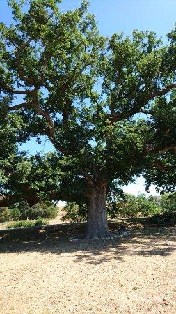 Pienza, Italia: quercia delle checche