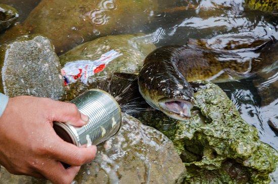 Pohnpei, Gefedereerde Staten van Micronesië: Eel at the pool