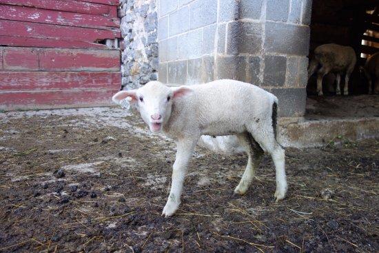 Mount Joy, PA: Lily the lamb